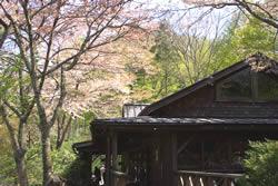 陶芸店と桜