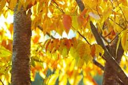 紅葉した庭のケヤキの葉