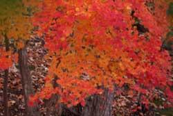団地内雑木林の紅葉