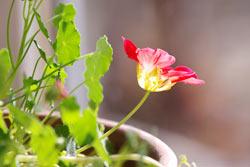 時期はずれの花をつけたナスタチウム