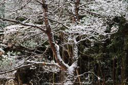 雑木林に雪