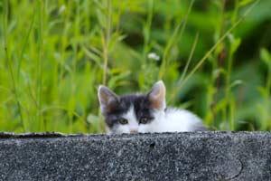 草むらからこちらの様子を伺う子猫