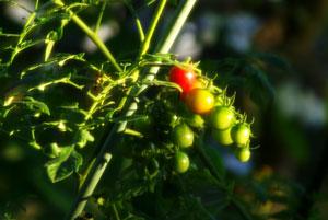 夕日のスポットライトを浴びる庭のミニトマト