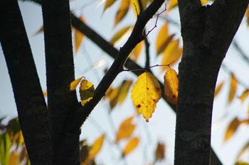 色づく庭の欅