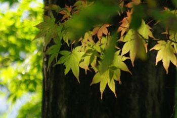 遠刈田温泉付近ドライブイン裏の楓
