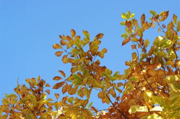 庭のナラの木1