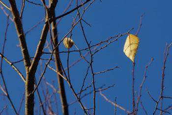 二枚残っていた欅の葉