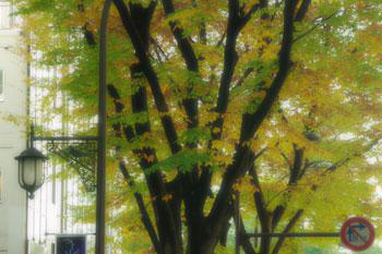 緑も残る定禅寺通りの欅